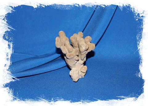 Коралл Стилофора пистиллата (Stylophora pistillata) 8 см.