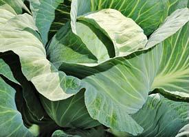 Белокочанная Блоктор F1 семена капусты белокочанной (Syngenta / Сингента) Блоктор_F1.jpg