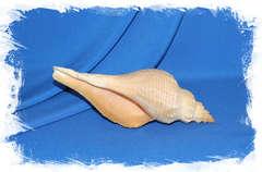 Ракушка Хемифусус Туба (Hemifusus tuba)