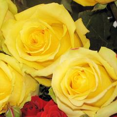 Роза чайно-гибридная Мохана