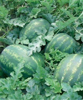 Арбуз Колоссео F1 семена арбуза (Seminis / Семинис) Колоссео_F1__Kolosseo_F1__семена_овощей_оптом.jpg