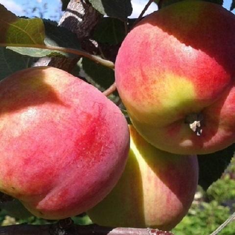 Яблоня зимний сорт Персиянка