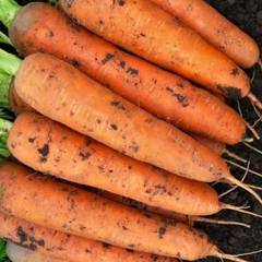 Семена моркови Балтимор F1, Bejo, 0,5 гр.