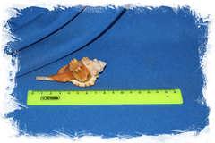 Ranularia testudinaria размер