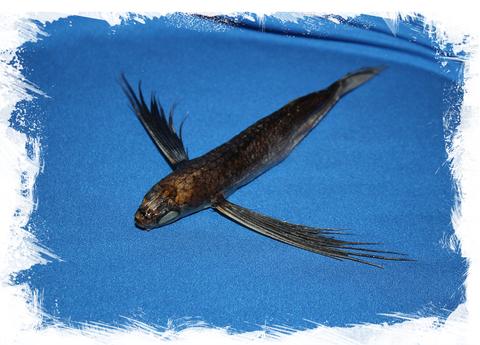 Летучая рыба (Exocoetus volitans)