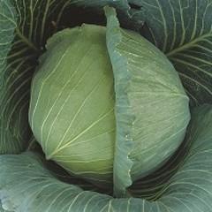 Атрия F1 семена капусты белокочанной (Seminis / Семинис)