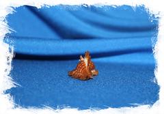 Коллекционная ракушка Chicoreus Strigatus, Мурекс стригатус
