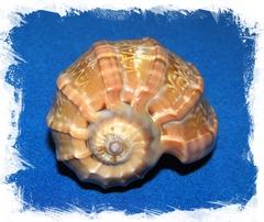 Раковина Харпа Мажор 6 см.