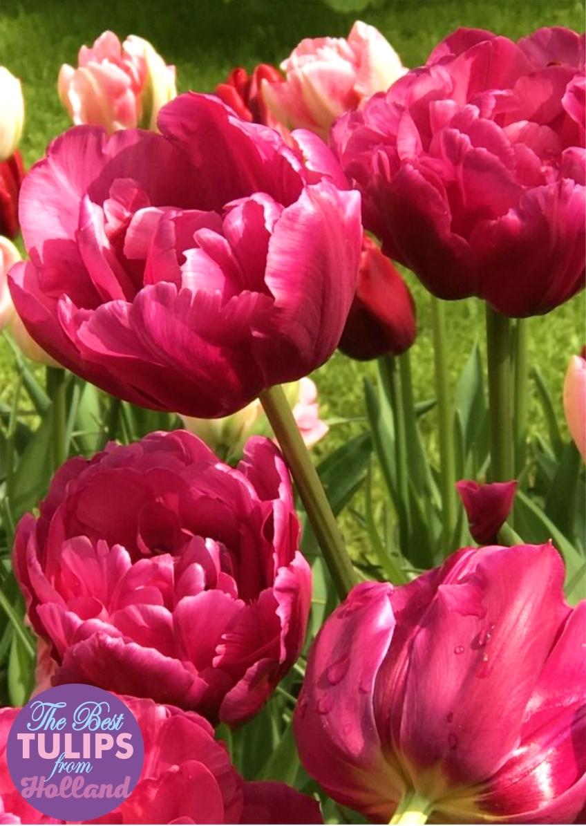 Луковицы Тюльпана Махрового раннего Margarita (Маргарита) TM Jan de Wit en Zonen B.V. ( количество в упаковке 3 луковицы)