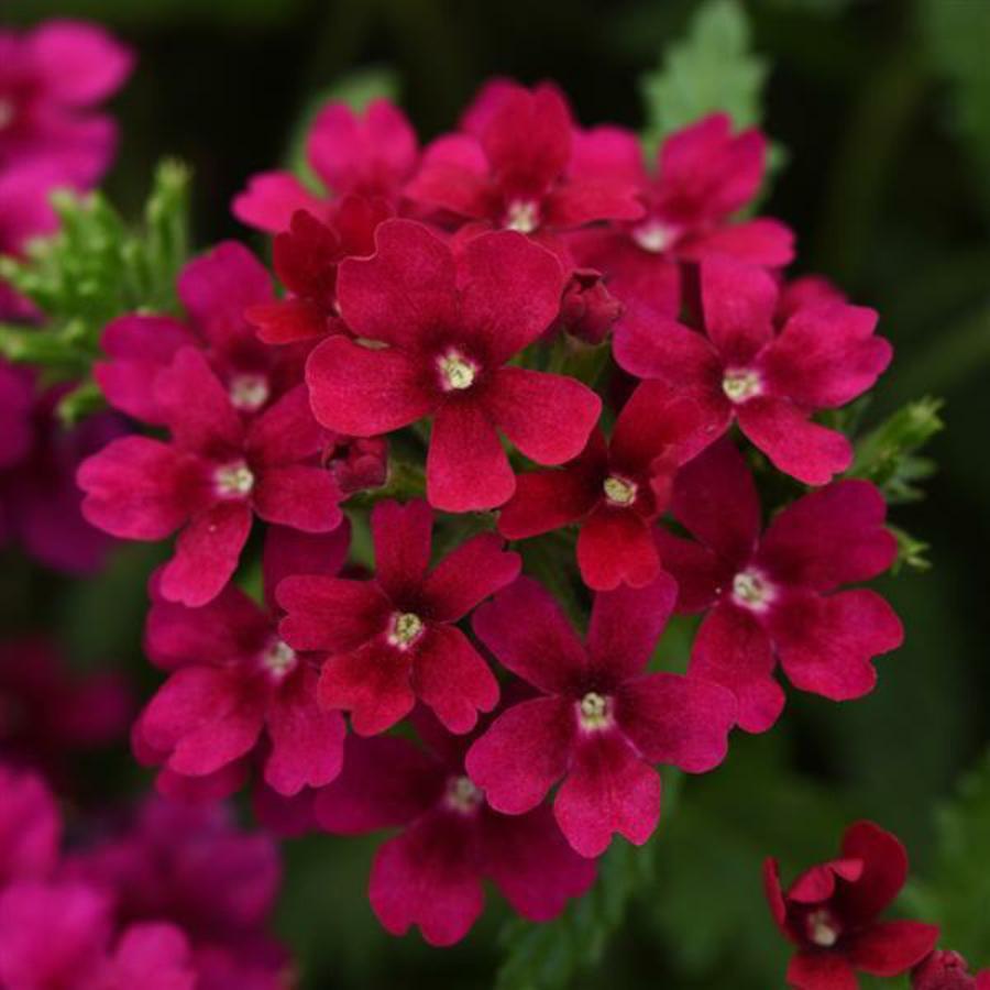 Цветы Семена цветов Вербена Кварц Бордо, PanAmerican Seed, 10 шт. BORDO.png