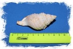 Циматиум Пилеар размер