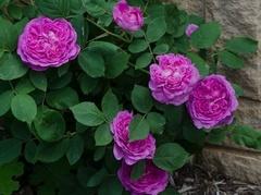 Reine des Violettes (Рейн де Виолетт)