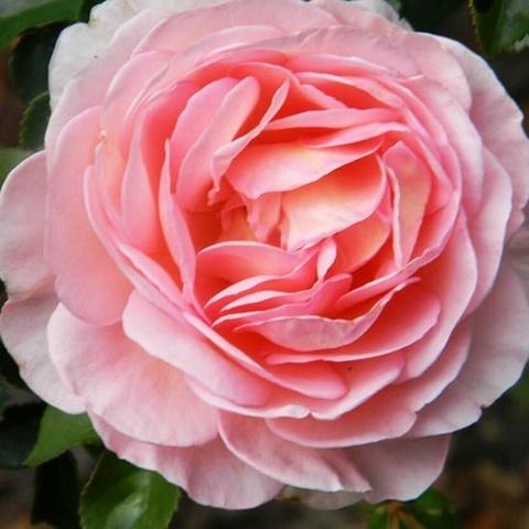 Роза английская душистая Абрахам Дерби