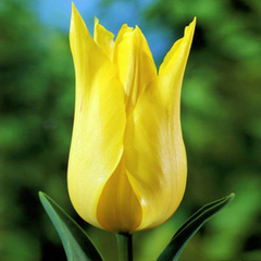 tulip-moonshine-01