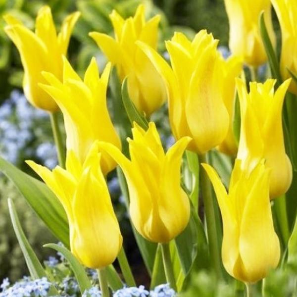 tulip-moonshine-02