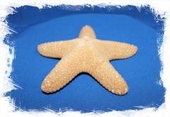 Морская звезда Астеродискус 12,5 - 15 см