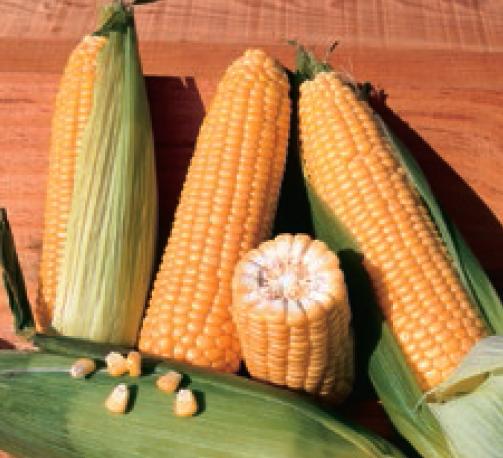 Кукуруза Бостон F1 семена кукурузы (Syngenta / Сингента) бостон.PNG