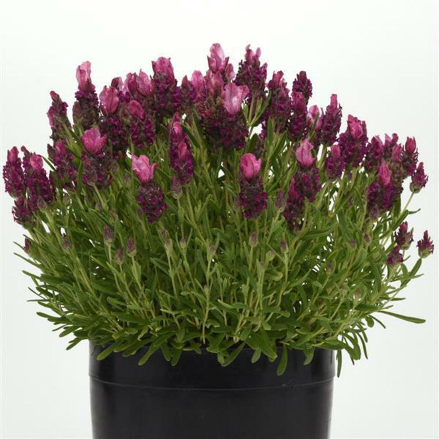 Цветы Семена цветов Лаванда Бандера Дип Роуз, PanAmerican Seed, 5 шт. LAVANDA-BANDERA.png