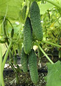 Гавриш Шарж F1 семена огурца партенокарпического (Гавриш) Шарж_семена_овощей_оптом.jpeg